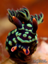 Nudibranch portrait (Nembrotha kuberyana) - Gili Banta, I... by Marco Waagmeester 